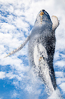 This breaching humpback whale, Megaptera novaeangliae, is completely out of the water, Hawaii.