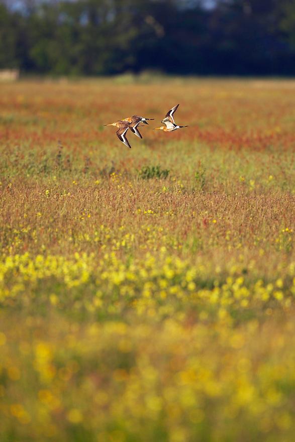 Black-tailed Godwit (Limosa limosa) Texel, The Netherlands,