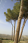 Israel, Jerusalem mountains, Aleppo Pine (Pinus halepensis) tree in Nabi Samuel