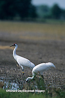 00881-00204 Whooping Crane (Grus americana) feeding in field Marion Co. IL  (these birds were raised in Florida)