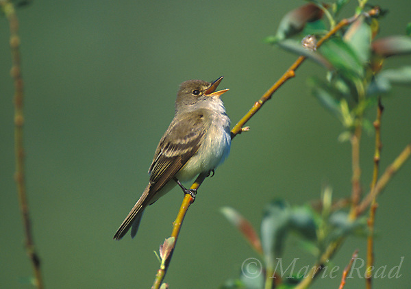 Willow Flycatcher (Empidonax traillii) singing in spring, Ithaca, NY, USA<br /> Slide # B105-912
