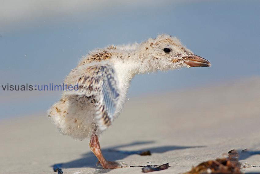 Black Skimmer (Rynchops niger) chick.