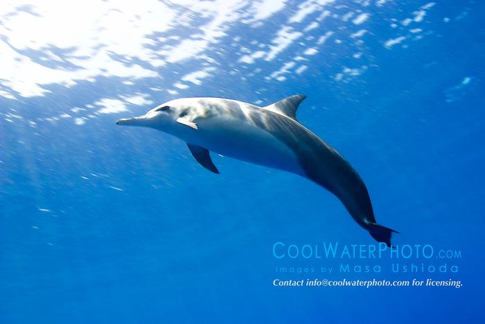 spinner dolphin, Stenella longirostris, Kealakekua Bay, Big Island, Hawaii, Pacific Ocean