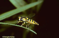 1D03-008z  Flower Fly -  (Hover Fly) adult