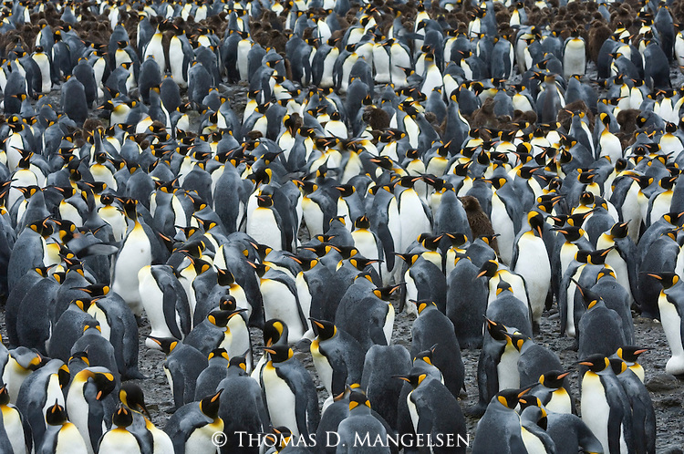 A king penguin colony on Salisbury Plain on South Georgia Island.