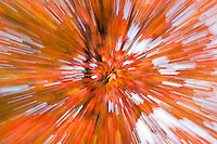 An Autumn abstract of a Maple tree against the sky