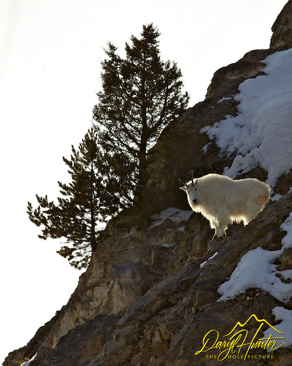 Backlit Mountain Goat in the Snake River Range of Alpine Wyoming