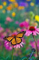 Monarch butterfly (Danaus plexippus) on purple coneflower.  Summer.