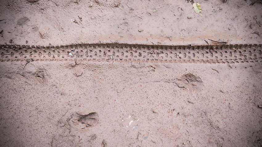 Mountain bike tire tracks alongside deer tracks in the mud, Marquette County, Michigan.