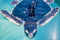 juvenile Kemp's ridley sea turtle, Lepidochelys kempii ( c ), in experimental tank at the University of Miami, Rosenfiel School of Marine and Atmospheric Science, Miami, Florida