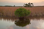 Mangrove and hardwood hammocks grow along the Tamiami canal in Big Cypress National Preserve, Florida