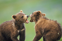 Grizzly bear cubs playfully fight, Denali National Park, Alaska