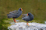 Dusky Moorhen pair in a suburban park, Brisbane, Australia.  //   Dusky Moorhen - Rallidae: Gallinula tenebrosa. Length to 40cm, wingspan to 80cm, weight to 350g. Nomad or resident in the Murray-Darling catchment, Lake Eyre Basin and floodplains of eastern Australia from the Gulf of Carpentaria to south-eastern South Australia and northern and eastern Tasmania. Isolated occurrences in Indonesia and New Guinea. Feeds on aquatic vegetation and small invertebrates. Usually seen in pairs which, as seen here, exhibit strong pair-bonding. IUCN Status: Least Concern.   //Eric Lindgren//