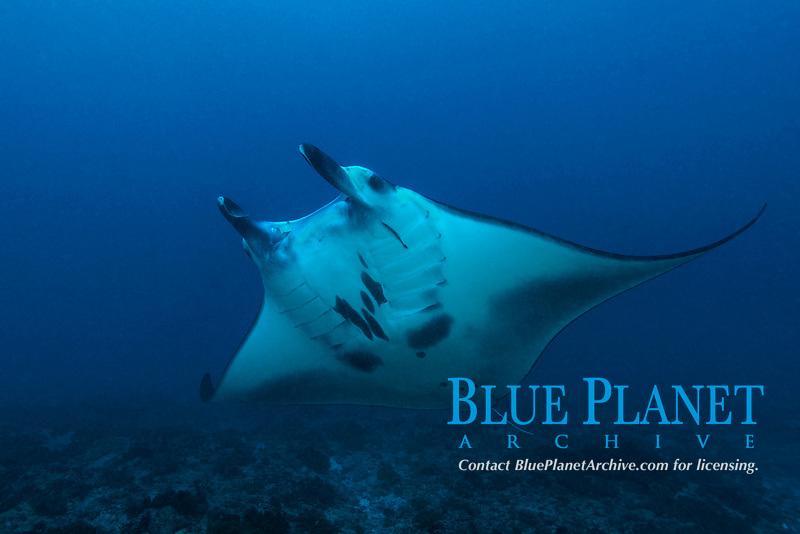 Reef Manta Ray, manta alfredi, just on a turn over the reef at Nusa Penida, Bali, Bali-Sea, Indian Ocean, Indonesia,