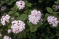 Viburnum carlesii Charis shrub in spring flowers bloom