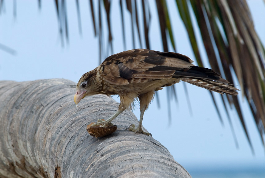 Bird eating coconut on palm tree, Comarca De Kuna Yala, San Blas Islands, Panama