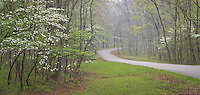 Brown County State Park, Indiana:<br /> Curving road through a foggy hardwood forest in early spring with flowering dogwood trees (Cornus florida)