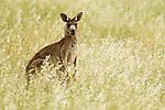Eastern Grey Kangaroo (Macropus giganteus) female chewing grass, Mount Taylor Nature Reserve, Canberra, Australian Capital Territory, Australia