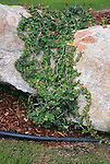 17205-CM Creeping Fig, Ficus pumila (ie repens) `Minima', trained on boulder in March at Bakersfield, CA USA