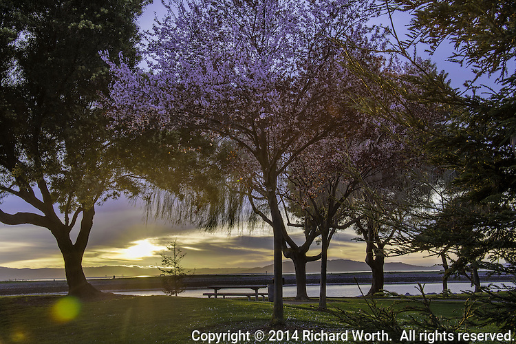 A tree covered in pink blossoms is backlit by a setting sun, diffused by clouds at San Leandro's Marina Park on San Francisco Bay.