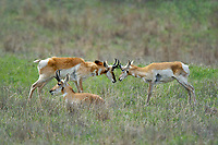 673080118 wild pronghorn antilocarpa americana graze and interact on a grassy hillside near canadian texas united states