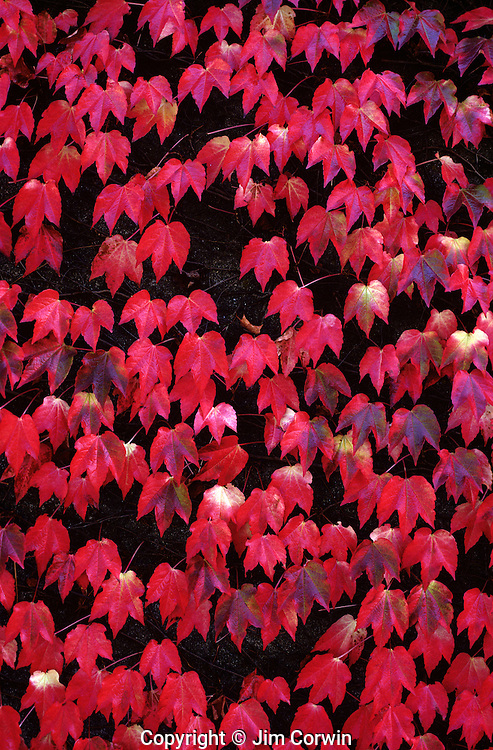 Autumn leaves vine maple spreading on wall