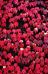 Autumn leaves vine maple spreading on wall