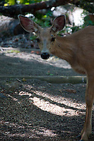 Black-Tailed Deer (Odocoileus hemionus) at Lightenng Creek, Ross Lake National Recreation Area, North Cascades National Park, Washington, US