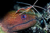 Yellowmargin moray, Gymnothorax flavimarginatus, is cleaned by Scarlet cleaner shrimp, Lysmata amboinensis, Hawaii, Pacific Ocean
