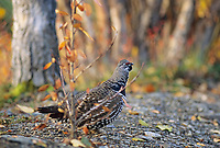 Spruce grouse in boreal forest Denali National Park, Alaska