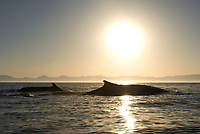 Fin whale (balaenoptera physalus) Gulf of California.The low light and silhouette of two fin whales., Baja California, Mexico, Pacific Ocean