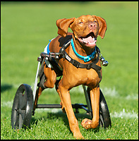 Gilbert, the loveable dog on wheels.