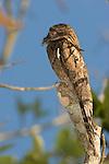 Common Potoo (Nyctibius griseus), Costa Rica