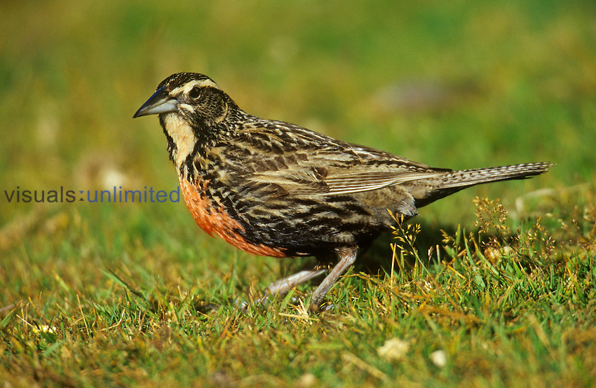 Long-tailed Meadowlark ,Sturnella loyca falklandica,, Falkland Islands.