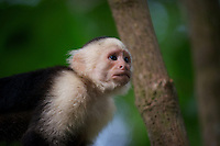Head Shot of a Capuchin