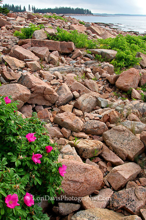 Wild Roses at Ship Harbor, Acadia  #S1