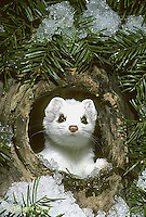 MA28-054z  Short-Tailed Weasel - ermine exploring tree cavity in winter - Mustela erminea