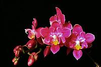 Phalaenopsis equestris 'Bedford Fleur Delice', JC/AOS, Peloric orchid species