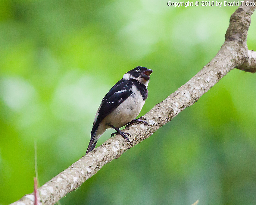 White Collared Seedeater, Quirigua, Guatemala