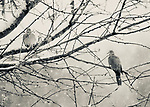 Two Doves In Snow