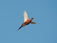 Pheasant - Phasianus colchicus - male