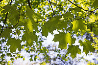 Zucker-Ahorn, Zuckerahorn, Echter Zucker-Ahorn, Acer saccharum, Acer palmifolium, Saccharodendron saccharum, sugar maple, rock maple, L'érable à sucre, érable franc, Blatt, Blätter, leaf, leaves