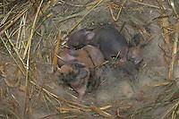 Zwergkaninchen, Zwerg-Kaninchen, wenige Tage alte, noch blinde Junge in ihrem Nest im Stall, dwarf rabbit