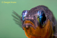 1S14-542z  Male Threespine Stickleback, Mating colors showing bright red belly and blue eyes, close-up of face, Gasterosteus aculeatus,  Hotel Lake British Columbia