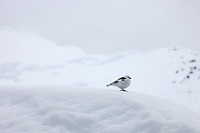 Snow bunting on a snow back in the Alaska Range mountains.
