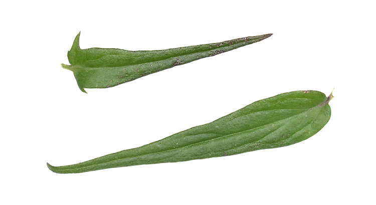 Common Cow-wheat - Melampyrum pratense