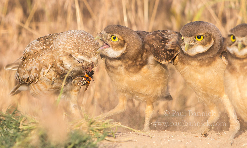 A Burrowing Owl feeds a beetle to her young.