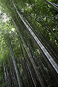 July 20, 2010 - Niiza, Japan - Heirinji's bamboo forest, part of the Rinzai temple of the Myoshin-ji branch located in Niiza city, Japan, is pictured on July 20, 2010. Visiting the temple is part of the 'True Japan Saitama - Zen Medidation and Buddhist Vegetarian Cuisine' tour, organized by the travel agency JTB for leisure travelers.