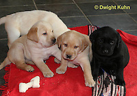 SH37-523z Lab Puppies - Genetic variation of black, yellow and white, 4 weeks old,  Labrador Retriever..