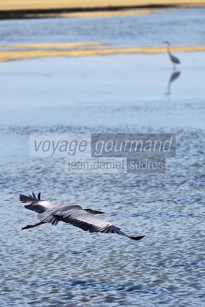 Europe/France/Pays de la Loire/44/Loire Atlantique/Guérande: Héron gris dans les marais salants